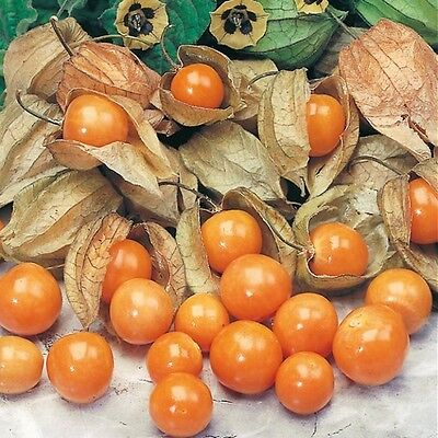 Physalis peruviana - Cape Gooseberry, Inca berry, Aztec berry -20 seeds