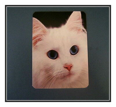 White Kitten With Blue Eyes Refrigerator Magnet - Not Easy Being This Beautiful