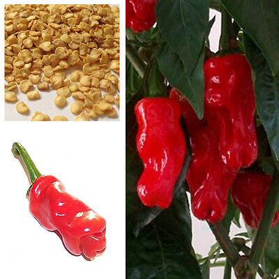 Penis Chilli Red Hot Peter Pepper Willy Chillies, Buy 2 Get 25% Discount