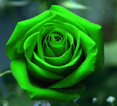 Green Rose Flower Seeds Garden Plant, 25% Discount Buy 2 Or More, UK Seller