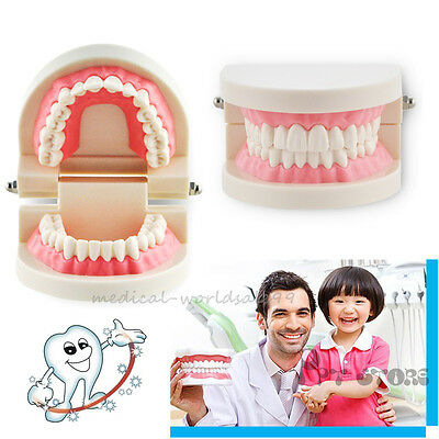 Dental Pink Gums Standard Adult Study Teeth Teaching Typodont tooth mold Model