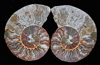 Ammonite Fossilperfect Pair - Polished - Backs Intact -