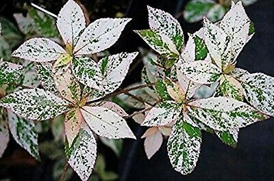 Clethra barbinervis 'Takeda Nishiki' 1-2 year old plant, Variegated Japanese