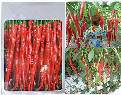 30pcs Super Giant Long Chili Seed Red Hot Pepper Organic Seed Planting Eatable P