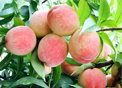 4 Peach Tree Seeds Sweet Peaches Peach Heirloom Organic S023