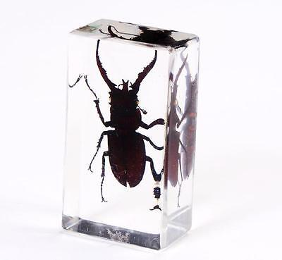 Real Insects in Clear Resin PaperWeights Mountain Stag Beetle YY002