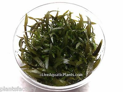 Cryptocoryne Mioya in Tissue Culture Live Aquarium Plants Crypt Tropica Brown