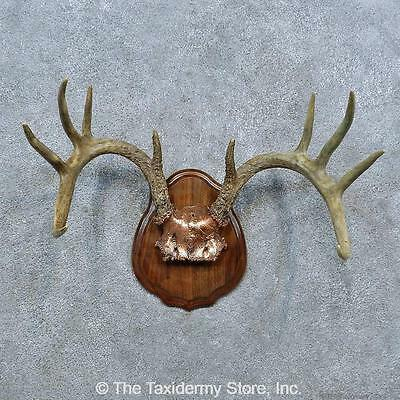 #15392 N+ | Whitetail Deer Antler Plaque Taxidermy Mount For Sale