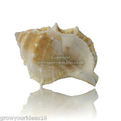 Common Frog Shell Large 5-7cm Beach Seashells for aquariums, crafts or weddings