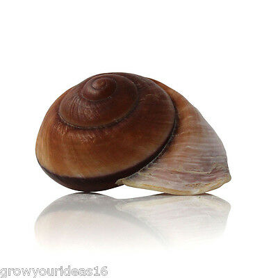 Landsnail Brown Large 7-9cm Beach SeaShell