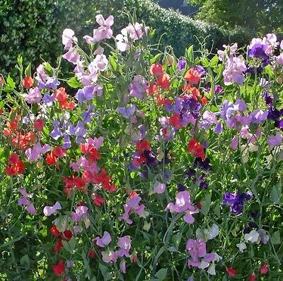 Sweet Pea Royal Family Mixed Colors 25 Seeds Free Ship!