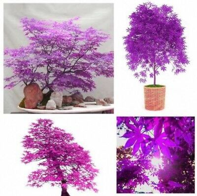 Purple Ghost Japanese Maple Tree Bonsai Garden Seeds (Acer Palatum)
