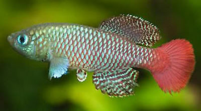 50 Eggs Nothobranchius Palmquisti Killifish Killi Egg Hatching Tropical Fish