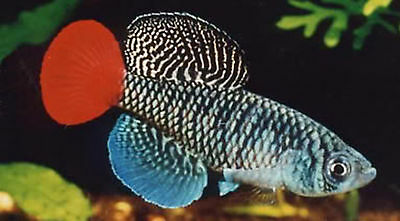 50 Eggs Nothobranchius Patrizii Killifish Killi Egg Hatching Tropical Fish