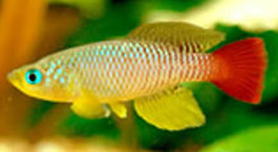 50 Eggs Nothobranchius Foerschi Ruvu Killifish Killi Egg Hatching Tropical Fish