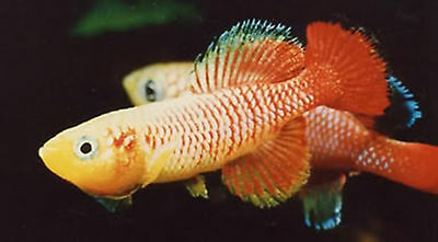 50 Eggs Nothobranchius Guentheri Red Killifish Killi Egg Hatching Tropical Fish
