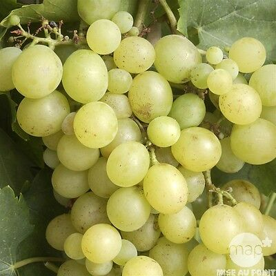 Vitis vinifera Dattier de Beyrouth - Grape Vine, White Grafted Plt. 9cm Pot Cane