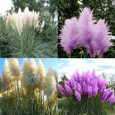 20Pcs Cortaderia Selloana Seeds Purple White Pampas Grass Decoration Plant Seeds