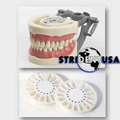 Dental Typodont  Om 200 Teaching Model W/ 2 Extra Sets Of Teeth (96 Total Teeth)