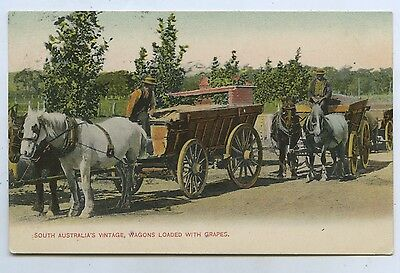 1905 Pt Postcard Wine Vintage Horse Waggons Loaded With Grapes Auldana Sa  M25