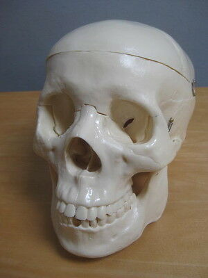 Medical Human Skull Head Anatomy Teaching Model Skeleton Bone Plastic
