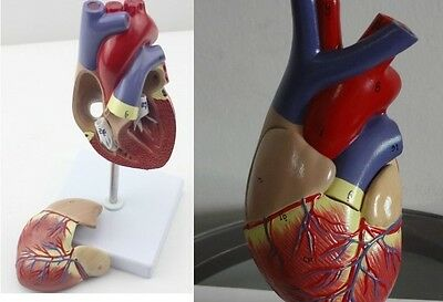 NEW 1:1  Anatomical Emulational Heart Anatomy Viscera Medical model 5