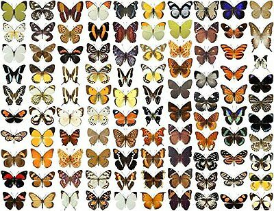 10 x Unmounted Dried Butterflies   Papered Butterfly Specimens   Real  
