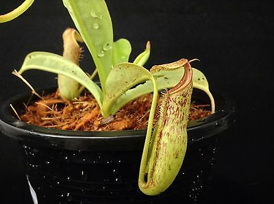 "nep243 Nepenthes spathulata X Miranda ""Spotted "" , pitcher plants , lowland trap"