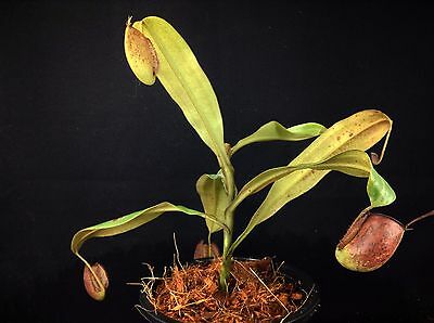 nep264 Nepenthes ampullaria Tricolor , pitcher plants , lowland trap