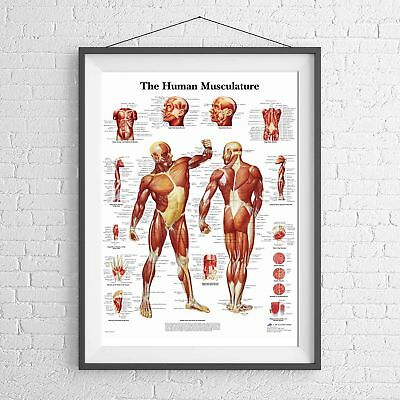 MALE MUSCULAR SYSTEM CHART HUMAN BODY POSTER PICTURE PRINT Size A5 to A0 **NEW**