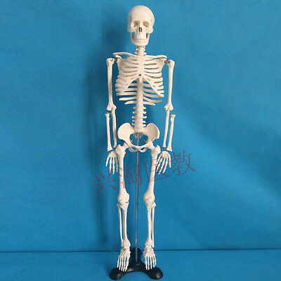 85cm Human Anatomical Anatomy Skeleton Teaching Model  67