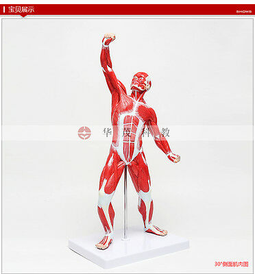 Human Anatomical Whole Body Muscle Sport Move Viscera Art Teach Model 97