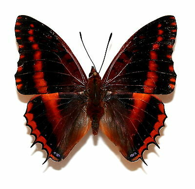 Insect Butterfly Moth Nymphalidae Charaxes ducarmei (richelmanni)-RARE No.2!