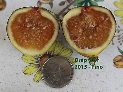 Drap D'Or Fig Tree