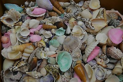 1000+ Pcs Assort Mix Sea Shells Beach Craft Wedding 8 Lbs #t-1948