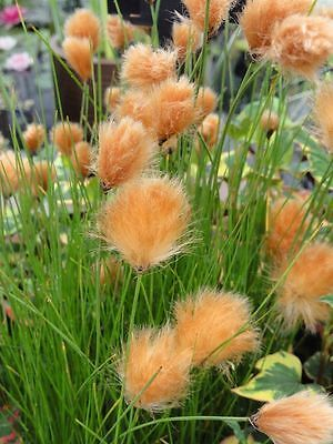 Red Cotton Grass - Pond Plants -  - Marginal Pond Plants