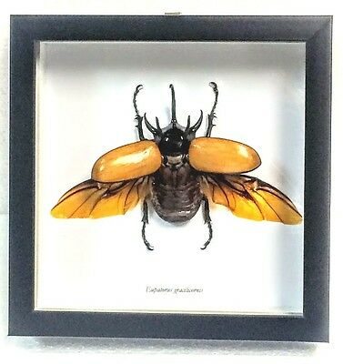 Real 5-Horned Rhinoceros Beetle, Eupatorus Gracilicornis N Black Shadowbox Frame