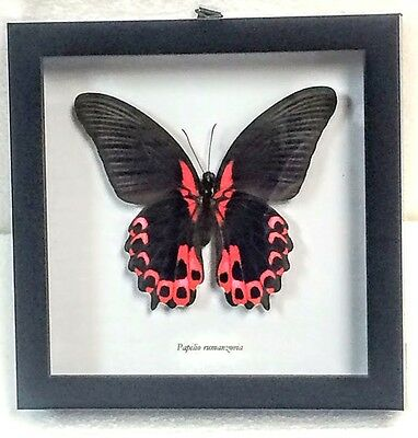 """Real """"red Mormon"""" Butterfly, Papilio Rumanzovia Taxidermy In Blk Shadowbox Frame"""