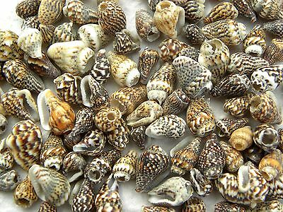 150 Beige & Brown Speckled Extra Small Spiral Shells No Hole MORE IN MY SHOP