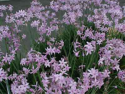 Tulbaghia violacea - Pond Plants - Society garlic - Marginal Pond Plants