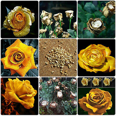 150pcs Rare Golden Rose Flower Seeds Natural Growth Gold Roses Plant Seed