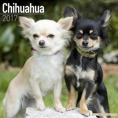 Chihuahua Dog 2017 Uk Square Wall Calendar New And Sealed By Avonside