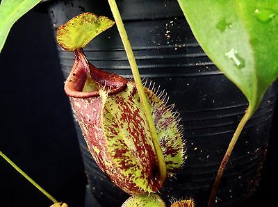 nep307 Nepenthes viking X Hookeriana , pitcher plant, ant plant, monkey cups
