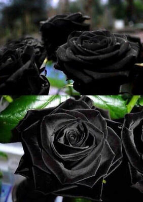100 Semi Di Rosa Nera - Black Rose, 100 High Quality Seeds