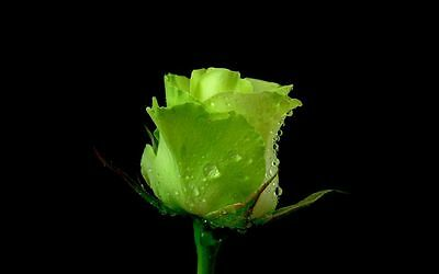 100 Semi Di Rosa Verde - Green Rose, 100 High Quality Seeds