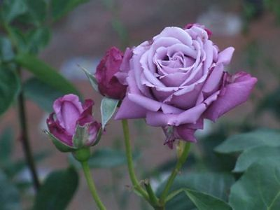 100 Semi Di Rosa Viola - Purple Rose, 100 High Quality Seeds