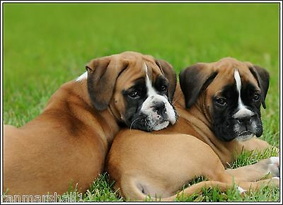 Packof4 Puppy Dog Boxer Dogs puppies Stationery Greeting Notecards / Envelopes 3
