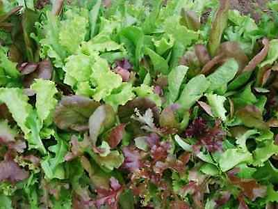 """Lettuce Seeds """" Mesclun Mix"""" (Approx 750 Seeds)"""