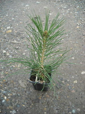 Pinus thunbergii  - Black Pine in 7cm pot ideal bonsai subject