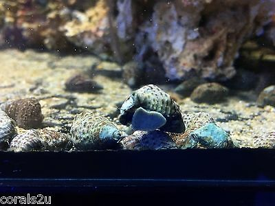 Indonesian Cerith Snails x 5 Pack Clean up Crew Algae Eaters Marine Reef Turbo